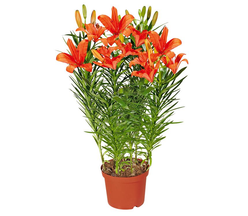Orientálna ľalia v kvetináči