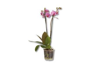 Orchidea multiflora